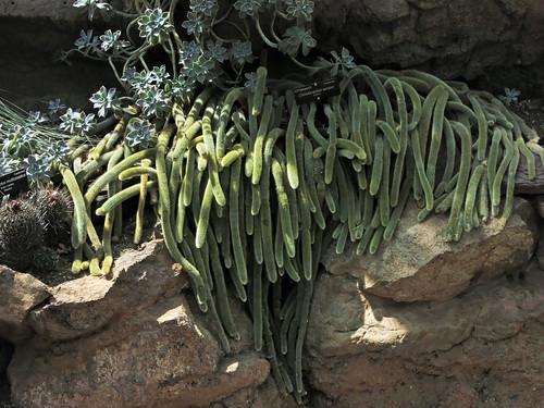 Cleistocactus winteri (4782)