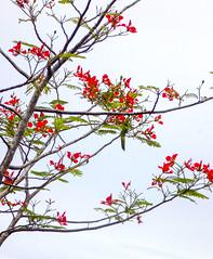 Red Blame flower 2