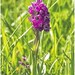 Northern Marsh Orchid.