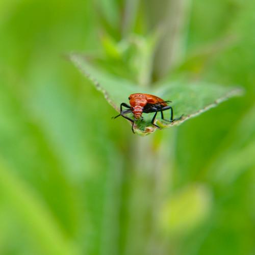 Cardinal beetle (Pyrochroa serraticornis) on teazle leaf