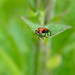 Cardinal beetle (Pyrochroa serraticornis) on teazle leaf