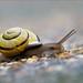 A galloping gastropod