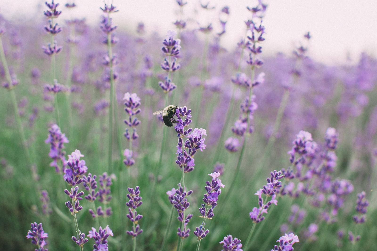lavender-25