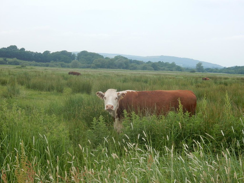 Cow, Amberley Wild Brooks Pulborough Circular