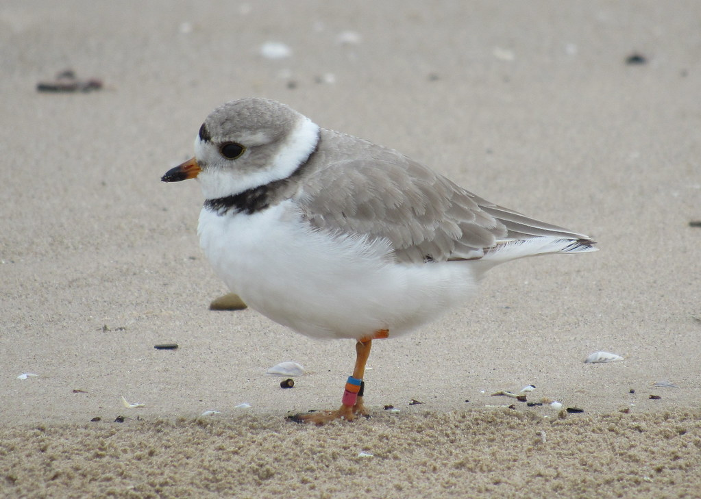 Piping Plover #1