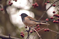 Black Hooded Junco
