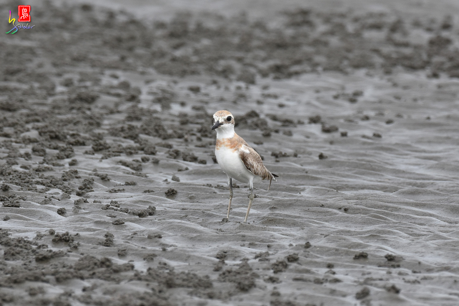 Greater_Sand_Plover_9391