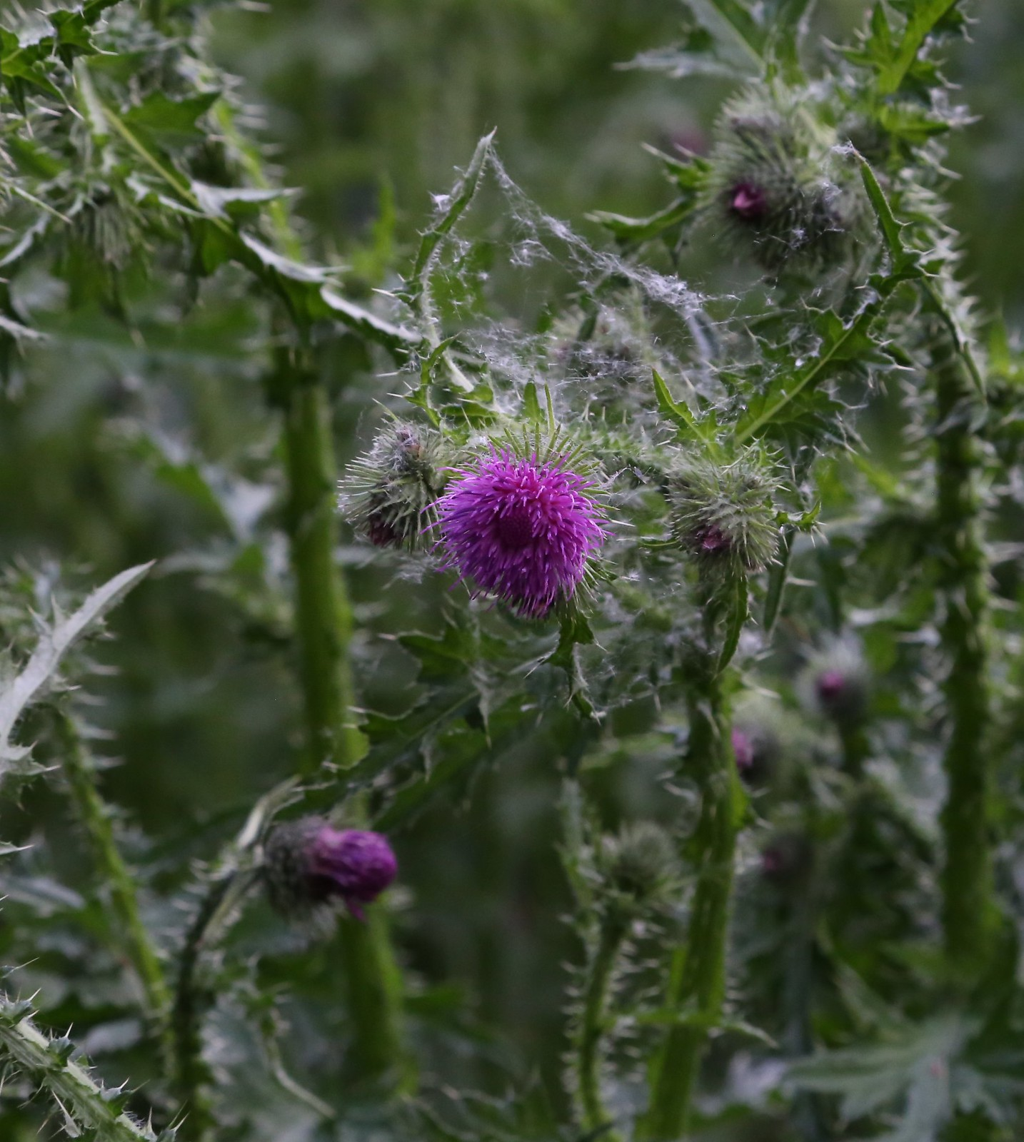 Marsh Thistle - Otford to Eynsford Walk