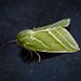 Green Silver-lines - Pseudoips prasinana (female)