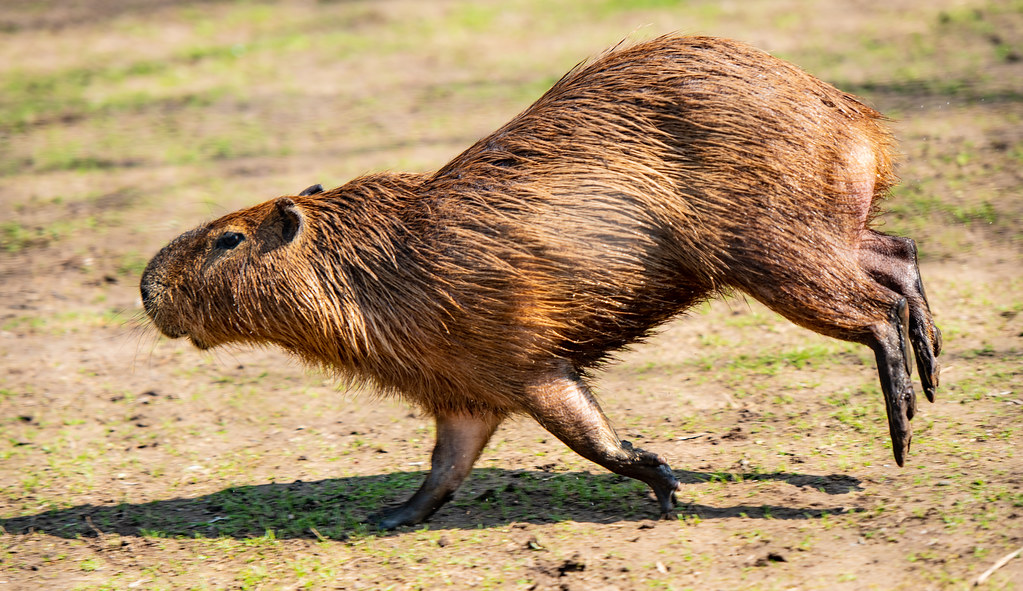 Capybara_9