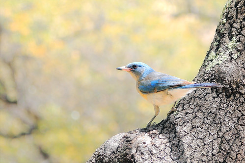 bird arizona tree blue nature