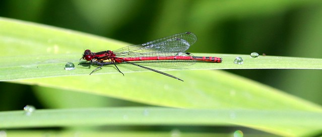 Dragonfly (red)