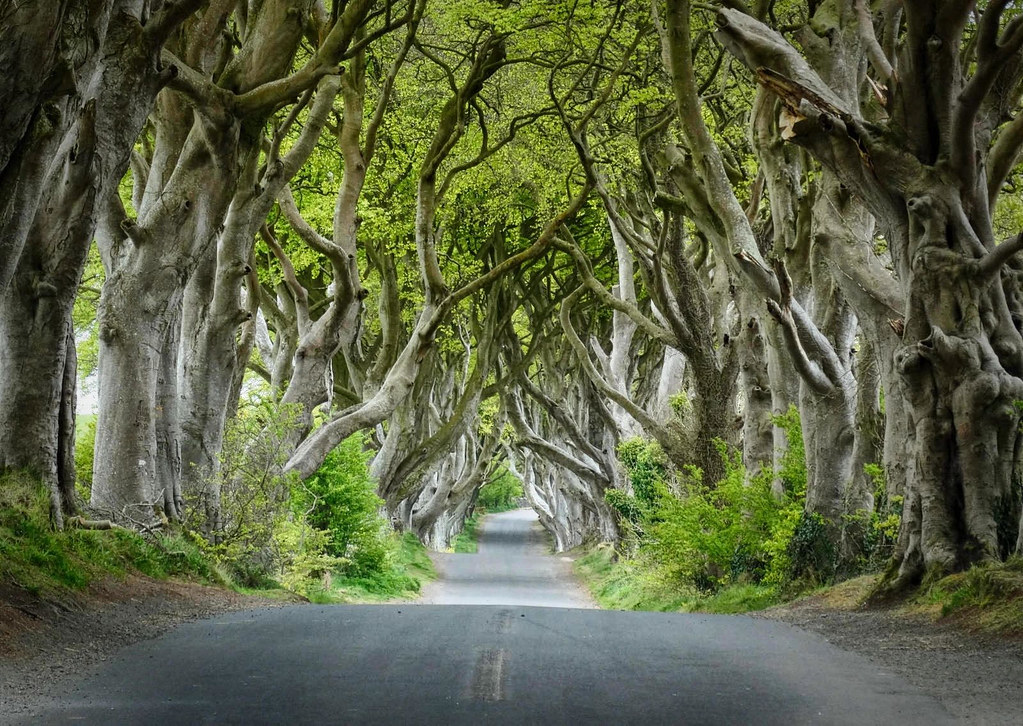 Dark Hedges, County Antrim, Northern Ireland. Credit Colin Park