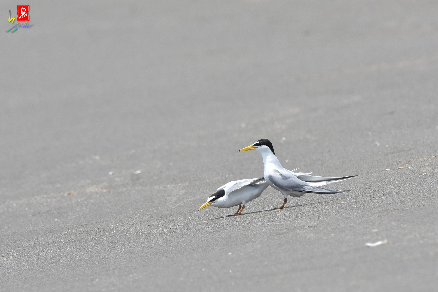 Little_Tern_8858