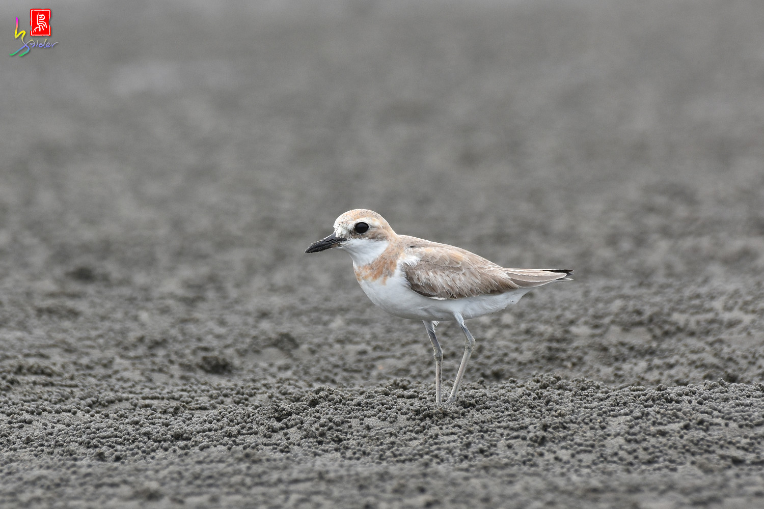 Greater_Sand_Plover_9265