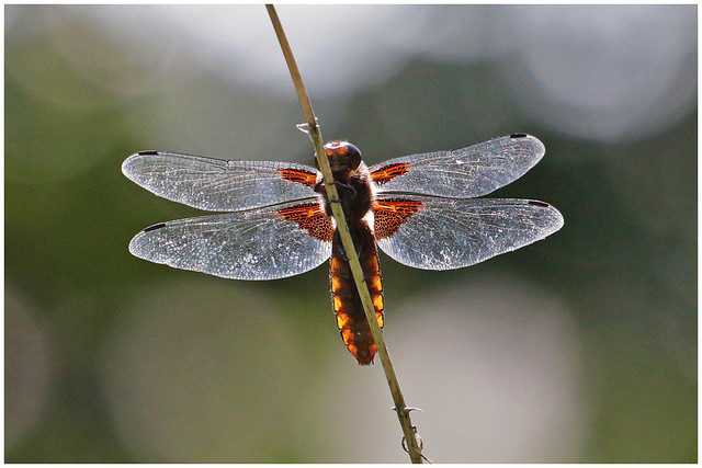 Dragonfly - Guldsmed, Canon EOS 80D, Canon EF 70-300mm f/4-5.6L IS USM