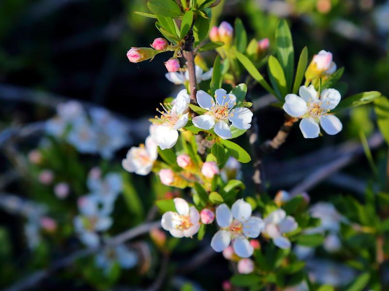 IMG_3458 Squaw Apple (Peraphyllum ramosissimum), Zion National Park