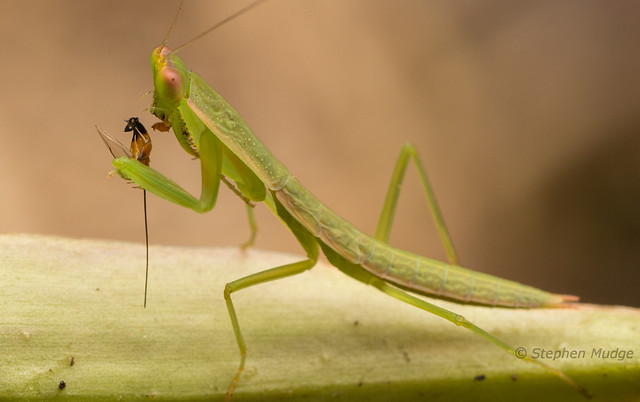Mantid eating Ichneumon wasp