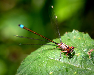 brown damselfly 2