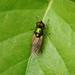 Soldier Fly- Black-horned Gem --- Microchrysa polita