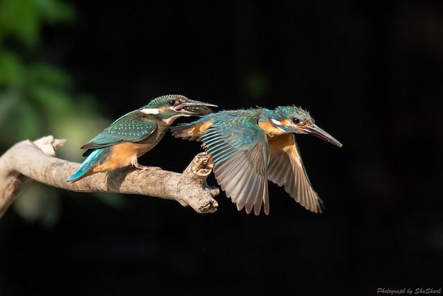 20180602-kingfisher-DSC_3931