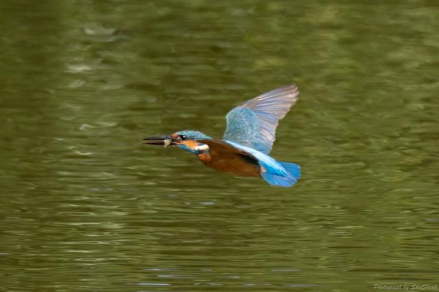 20180527-kingfisher-DSC_2496