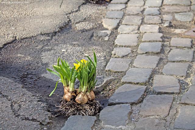 Curiosità su Bruxelles: fiori nelle buche.
