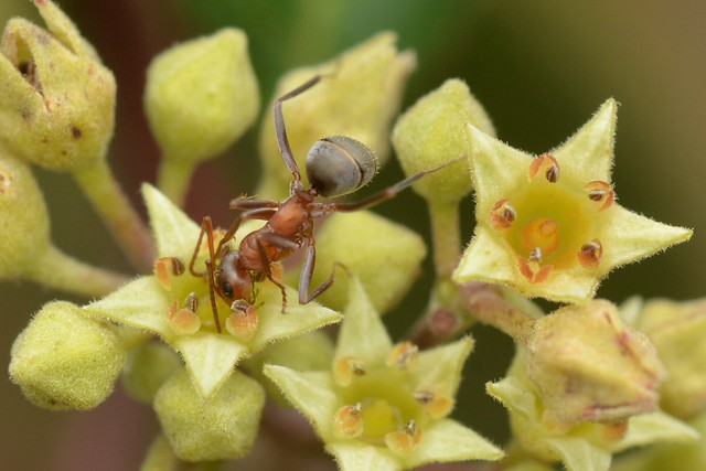 Ant drinking nectar on California Coffeeberry