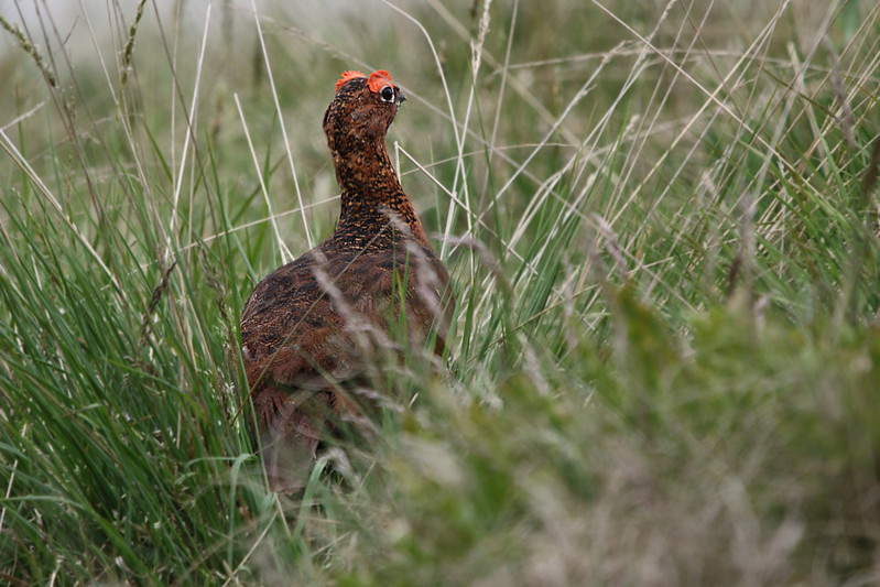 Red Grouse Dad