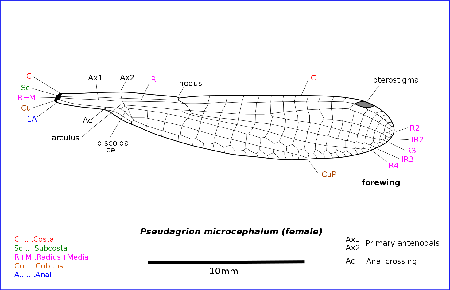 Illustration of damselfly wing. Both fore and hind wings are similar