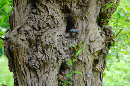 Nuthatch on a gnarly trunk