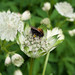 Astrantia and Bee        180610 015