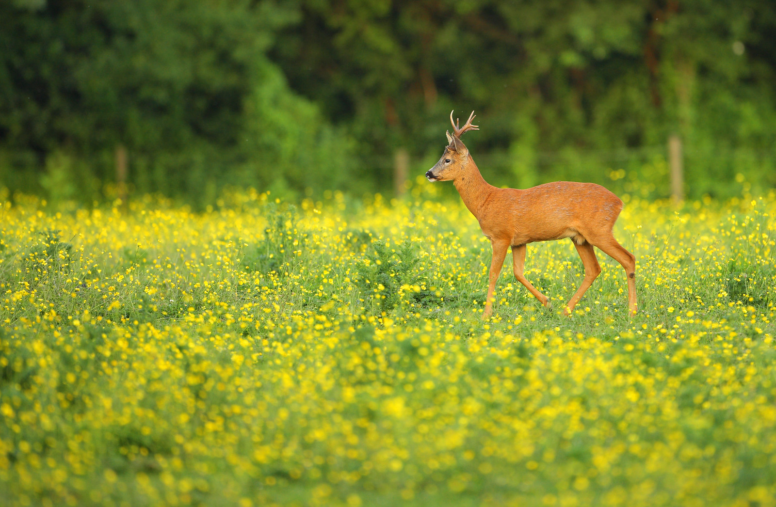 Mature Roe Buck in Buttercups
