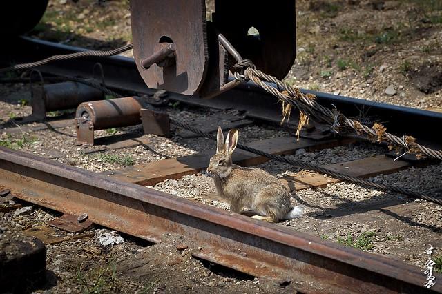 brave rabbit ...