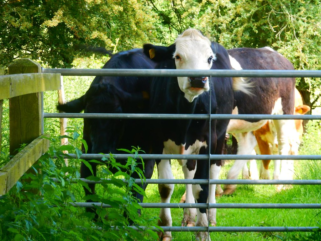 """And don't come back"" - scary cows Pulborough Circular (actually quite docile - it was the mad-woman-with-dog who followed me through the field made things scary) (not one of us, either)"