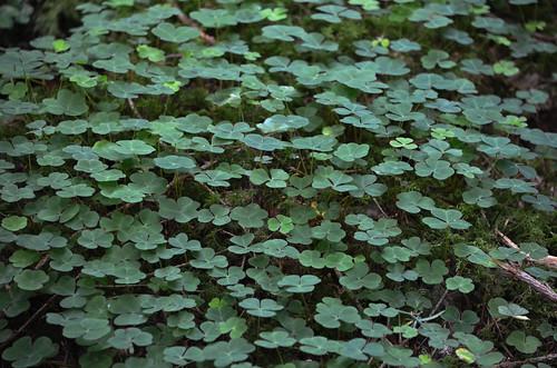 [Oxalidaceae] Oxalis acetosella (Gemeiner Sauerklee)†