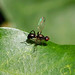 Ensign Fly --- Nemopoda nitidula