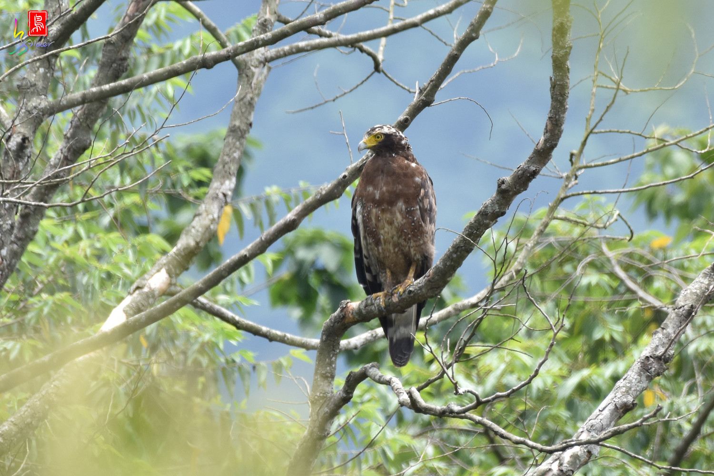 Crested_Serpent_Eagle_3509