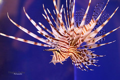 Medusa the Lion Fish