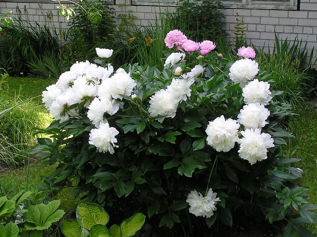 Paeonia lactiflora cv.