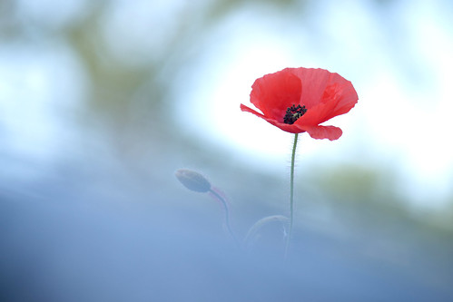 Poppy in the sky