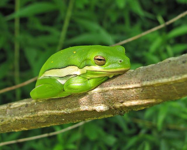 Green treefrog - roosting