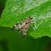 Snipe-fly --- Rhagio scolopaceus