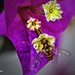 Marmalade hoverfly (Episyrphus balteatus) on a flower Bougainvillea spectabilis (I) by Abariltur