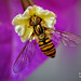 Marmalade hoverfly (Episyrphus balteatus) on a flower Bougainvillea spectabilis (II) by Abariltur