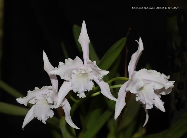 Cattleya (Laelia) lobata f. concolor 42596797181_b2426928f4_z