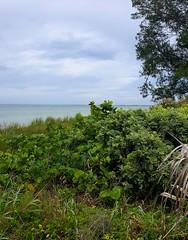 Identify this shrub / plant at beach on Anna Maria Island FL.