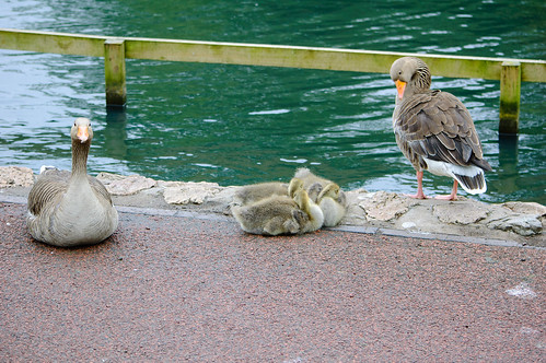 Greylag gosling trio by the shore, West Park