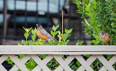 Backyard Robins