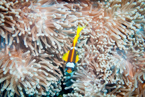 Red Sea Clownfish (amphiprion bicinctus) in anemone